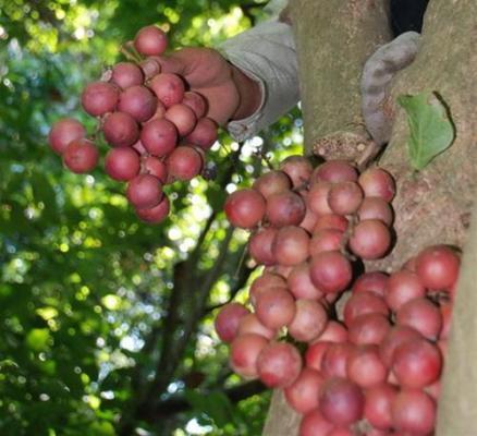 Dâu rừng loại quả dễ ăn dễ ghiền với vị chua ngọt