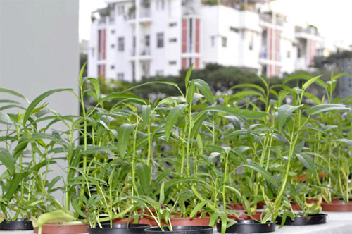 Những bâng khuâng của người trồng rau hoa ở thành phố