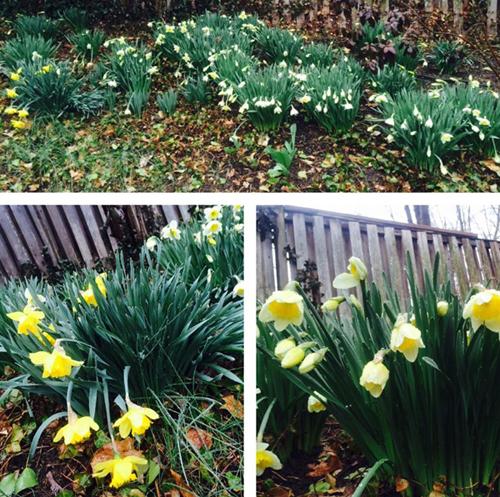 Khu vườn đầy hoa anh đào và tulip của bằng lăng