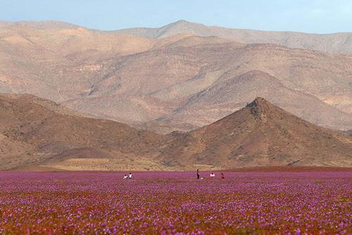 Mùa hoa cẩm quỳ đầu tiên nở rộ trên sa mạc