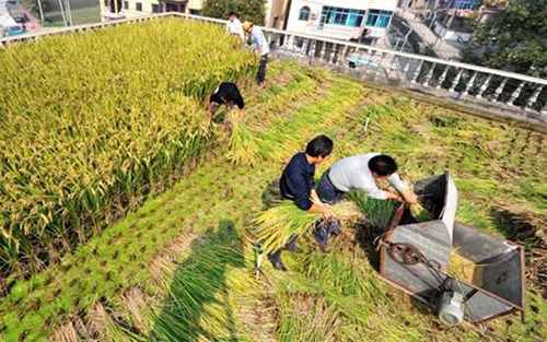 Tận dụng sân thượng làm ruộng trồng lúa