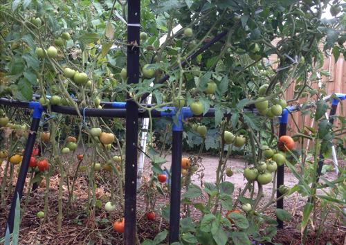 Vườn rau của người con sống xa quê hương