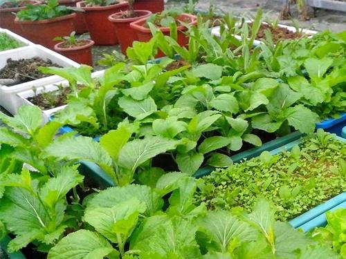 Nguyên nhân một số vườn rau chỉ trồng thành công một vụ