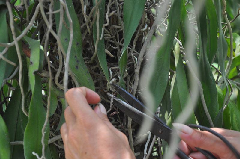 Phương pháp trồng lan bạch vĩ hổ ra hoa đẹp như ý
