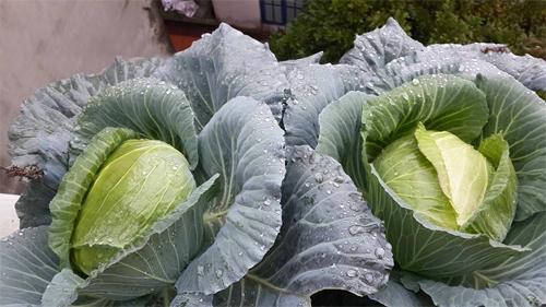 Chủ vườn ban công mách mẹo trồng rau lớn nhanh ít sâu bệnh