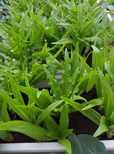 Ngắm vườn rau bội thu xanh ngát khiến nhiều người ghen tị