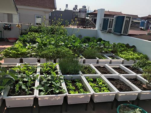 Ngắm vườn rau xanh mướt sau 3 tháng chăm sóc