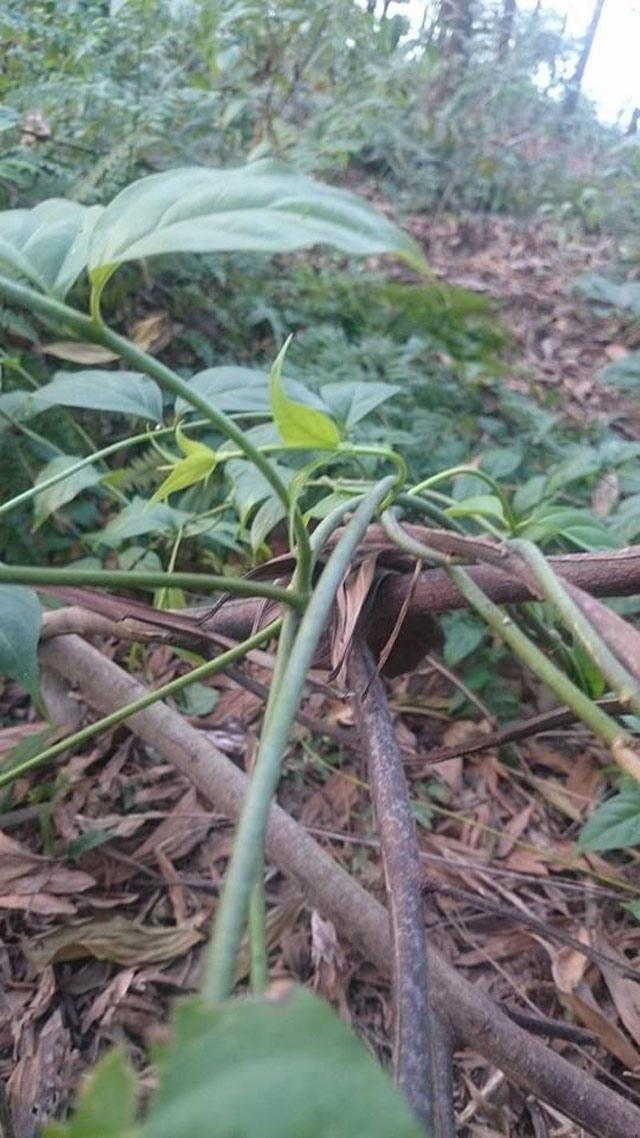 Cảnh báo loài cây 3 lá lấy một mạng người