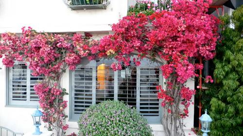 Nhà đẹp chỉ nhờ giàn hoa giấy