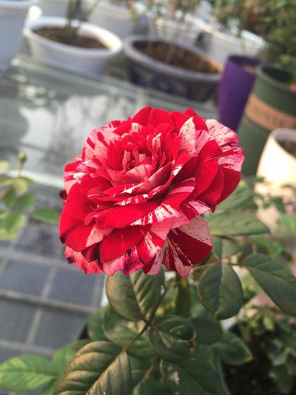 Kinh nghiệm đau thương của người trồng 50 loại hoa hồng