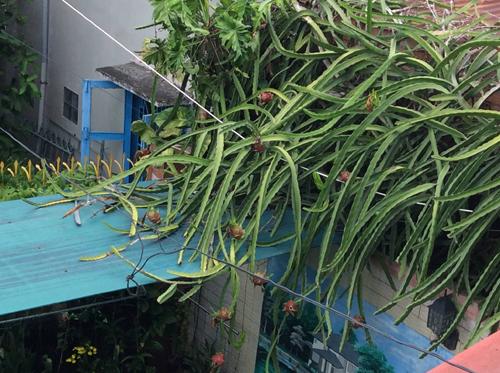 Ngắm giàn thanh long trĩu quả trồng ven tường nhà