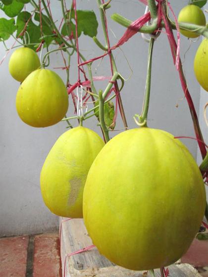 Vườn cây sai quả của các nông dân thành phố