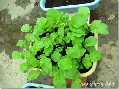 Củ cải đỏ trồng chậu trong 1 tháng cho bé tha hồ ăn