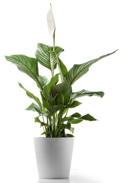5 loại cây xanh tốt mang cảm giác bình yên cho ngôi nhà