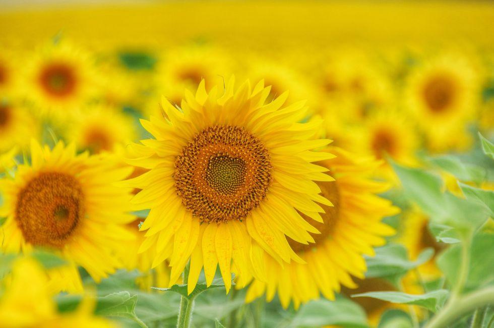 9 bí mật hay ho ít người biết về hoa hướng dương