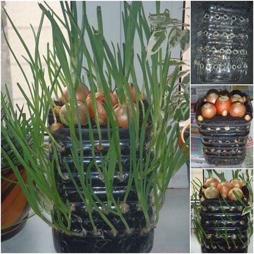 Hướng dẫn trồng hành lá trong chai lên mơn mởn ngay tại nhà