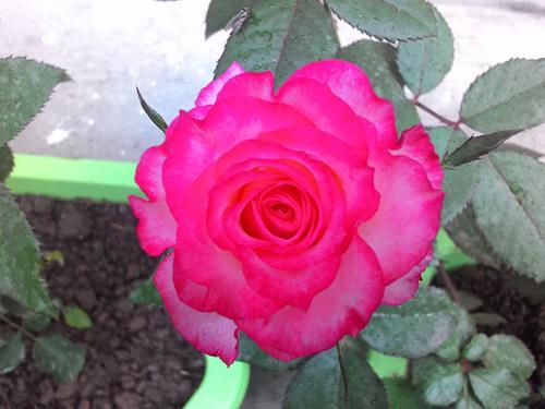 Vườn hoa ban công cô gái nhỏ trồng tặng mẹ đã khuất