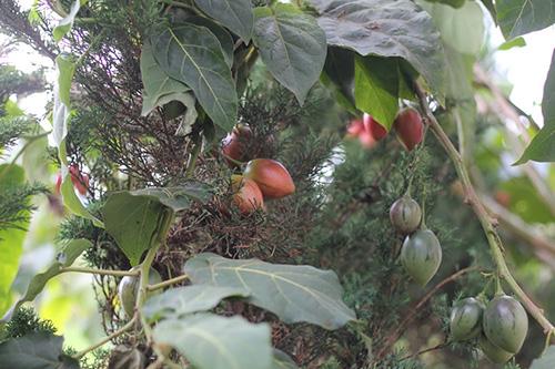 Kỹ thuật trồng cây cà chua lạ cho năng suất khủng