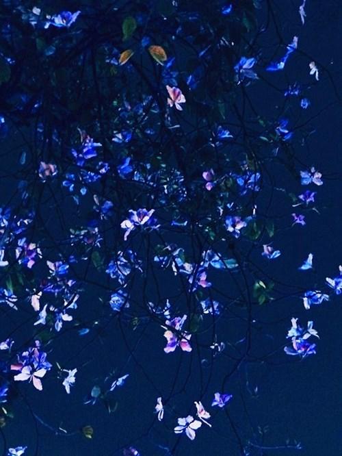 Chùm ảnh hoa ban đẹp lung linh dưới trời đêm